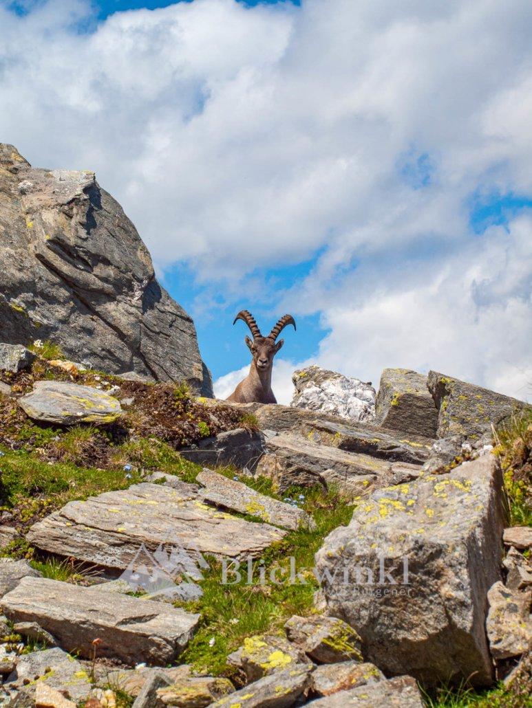 Steinbock auf dem Weg zum Glishorn